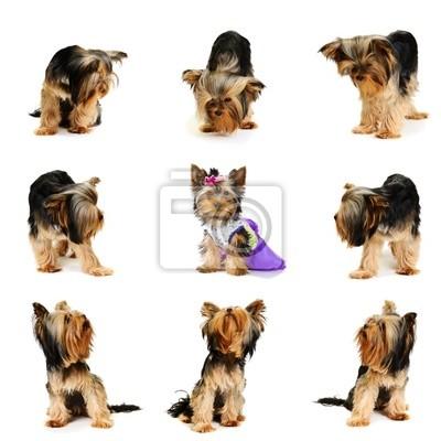 Plakat Psy spojrzeć na szczeniakaubrany