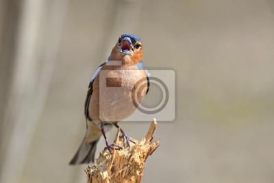 Ptak Chaffinch śpiewa piosenkę, stojąc na kikucie w lesie