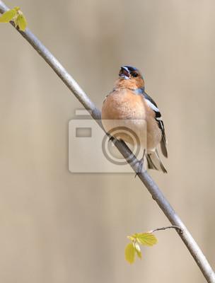 Ptak Z? Ota chaffinch śpiewa na gałęzi w lesie wiosny