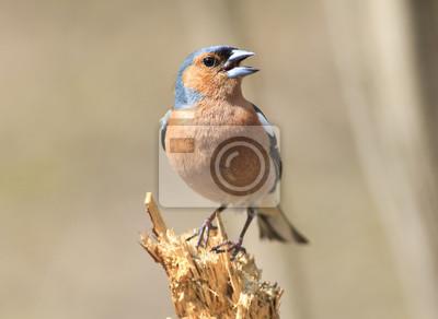 Ptak Zięba śpiewa piosenkę stojąc na pniu