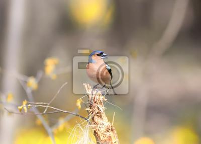 Ptak Zięba śpiewa piosenkę stojąc na pniu w lesie