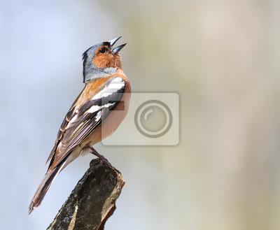 Ptak Zięba śpiewa piosenkę stojącego na gałęzi