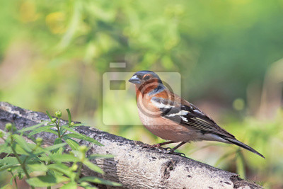 Ptaka Finch idzie na park na wiosnę