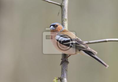 ptaki portret Zięba na gałęzi w lesie