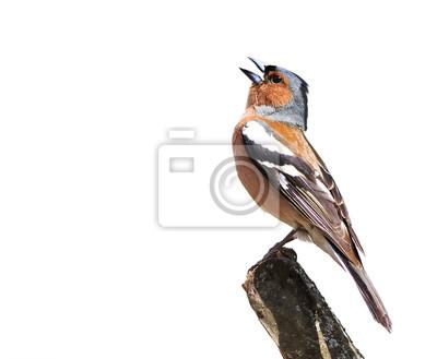 Ptaków chaffinch śpiewa piosenkę stojącej na gałęzi na białym