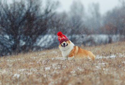 puppy  dog Corgi sits on the field in the winter day in a funny knitted hat on the eyes during a snowfall