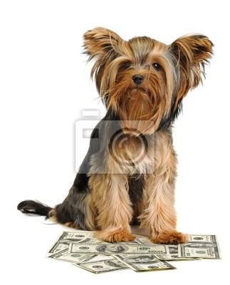 Puppy i dolarów