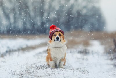 puppy of a red Corgi dog sitting on a field on a winter day in a funny knitted hat during a snowfall and looking
