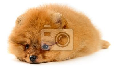 puppy pomorskim