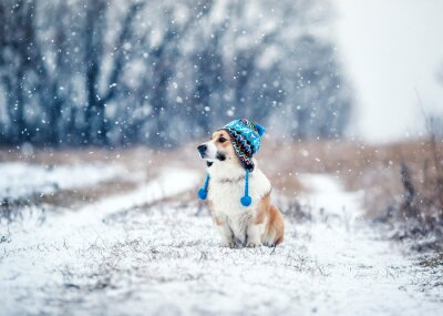 puppy red dog Corgi sits on a walk in a winter Park in a funny knitted hat with earflaps during a snowfall