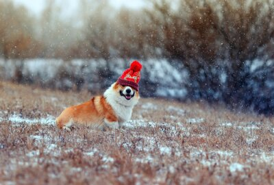 puppy red dog Corgi sits on the field in the winter day in a funny knitted hat on the eyes during a snowfall