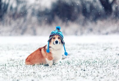 puppy red dog Corgi sits on the field with green grass on a winter day in a funny knitted hat during a snowfall