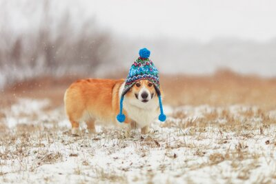 puppy red dog Corgi walks on a field in a winter day in a funny blue knitted hat with earflaps during a snowfall