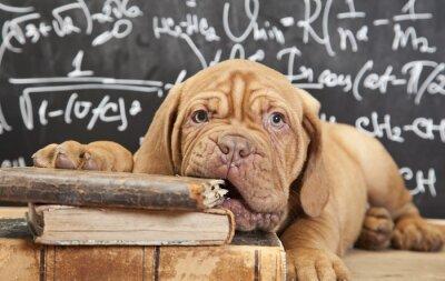 Plakat Puppy żucia książkę