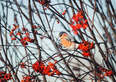 red bird bullfinch jedzenia dojrza? ych soczystych jagód jesieni górskich w ogrodzie
