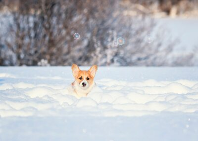 red corgi puppy fun runs over a snowy meadow in deep white snowdrifts in winter on a sunny day