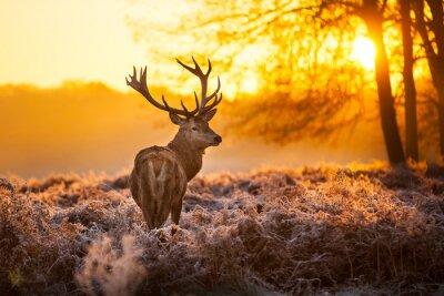 Plakat Red Deer w rannym słońcu.