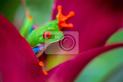 Plakat red eyed tree frog Costa Rica