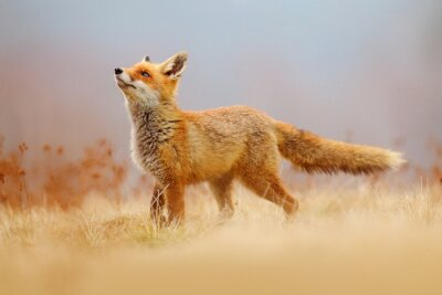 Plakat Red Fox hunting, Vulpes vulpes, wildlife scene from Europe. Orange fur coat animal in the nature habitat. Fox on the green forest meadow.