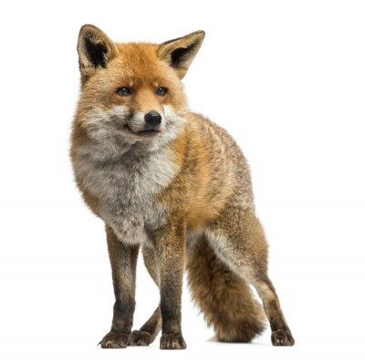 Plakat Red Fox, Vulpes vulpes, stojąca, na białym tle