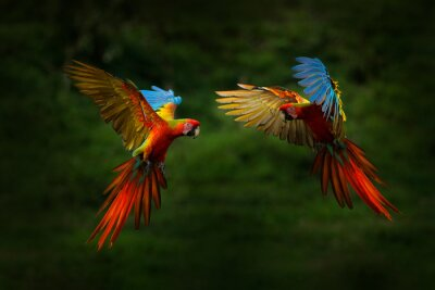 Plakat Red hybrid parrot in forest. Macaw parrot flying in dark green vegetation. Rare form Ara macao x Ara ambigua, in tropical forest, Costa Rica. Wildlife scene from tropical nature. Bird in fly, jungle.