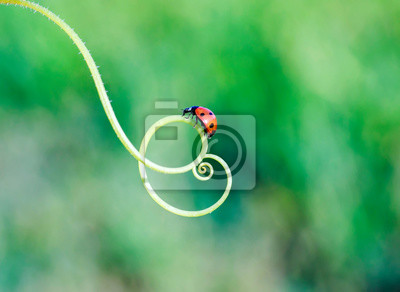 Plakat red ladybug crawling on the green grass in a spiral in the summer Sunny meadow