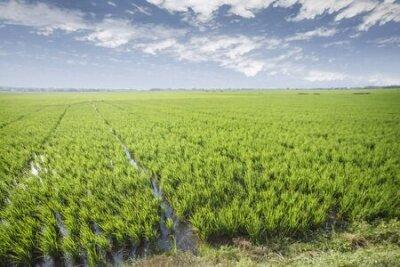 Plakat Rice field green grass blue sky cloud cloudy landscape background