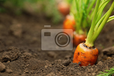 Plakat Ripe carrots growing in soil, closeup with space for text. Organic farming