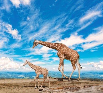 Plakat rodzina żyraf idzie z nieba