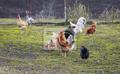 rodzinne kurczaki i koguty chodzące na podwórku gospodarstwa wczesną wiosną