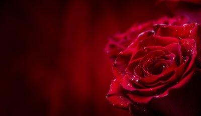 Plakat Róża. Czerwone róże. Bukiet czerwonych róż. Walentynki, wesele dzień tła. Płatków róży i serca Valentine pudełka. Valentines i granicy ślubu. Woda spada na płatków róż.