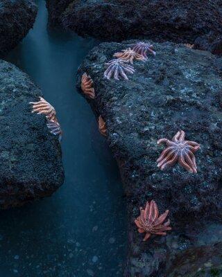 Plakat Rozgwiazdy (Stichaster australis) na plaży Motukiekie, Nowa Zelandia.