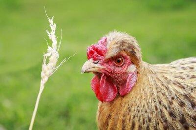rudowłosy kurczak zjada ziarna pszenicy z kłoska na podwórku letniej farmy