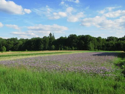Rural landscape with field of blue tansy flowers (Phacelia tanacetifolia) - bee plant attracting honey bees, eastern Poland