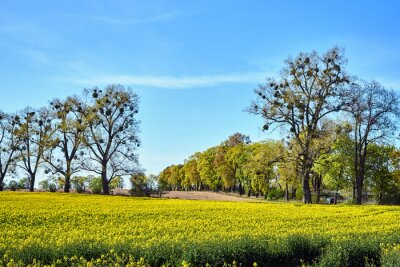 Rural landscape with fields of blooming rapeseed and trees in spring in Poland.