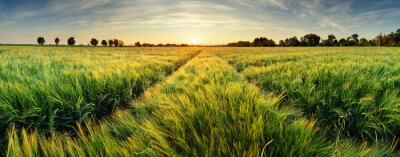 Plakat Rural landscape with wheat field on sunset
