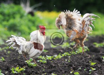 Rustykalne walki kogutów rozłożyły skrzydła i pióra i leciały wysoko na farmie