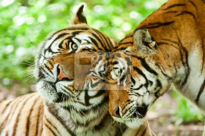 Plakat Samiec i samica tygrysa