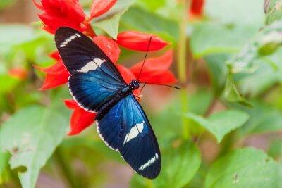 Plakat Sara Longwing Butterfly (Heliconius sara) w Mariposario (Butterfly House) w Mindo, Ekwador
