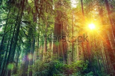 Plakat Scenic Forest Sunset. Krajobraz lasu sekwojowego. Kalifornia Stany Zjednoczone