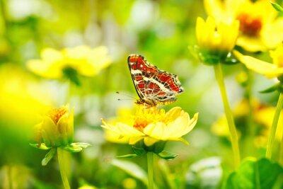 Plakat Schöner Motyl (Araschnia levana) auf gelber Blume