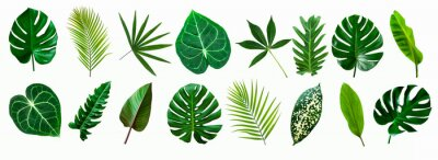 Plakat set of green monstera palm and tropical plant leaf isolated on white background for design elements, Flat lay