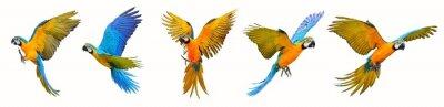 Plakat Set of macaw parrot isolated on white background