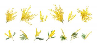 Plakat Set with bright yellow mimosa flowers on white background. Banner design