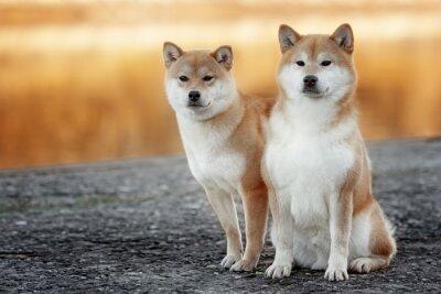 Plakat shiba inu dwa-psa w parku