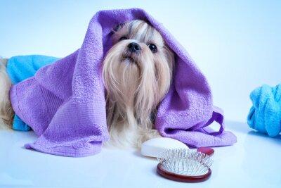 Plakat Shih Tzu Dog po umyciu