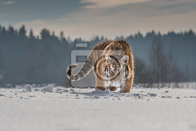 Plakat Siberian Tiger running in snow. Beautiful, dynamic and powerful photo of this majestic animal. Set in environment typical for this amazing animal. Birches and meadows