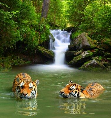 Plakat Siberian Tigers in water