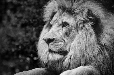 Plakat Silny kontrast czerni i bieli męskiej Lew w królewskiej pozy