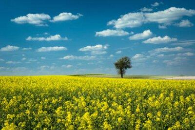 Plakat Single tree in a yellow rape field, white clouds on blue sky